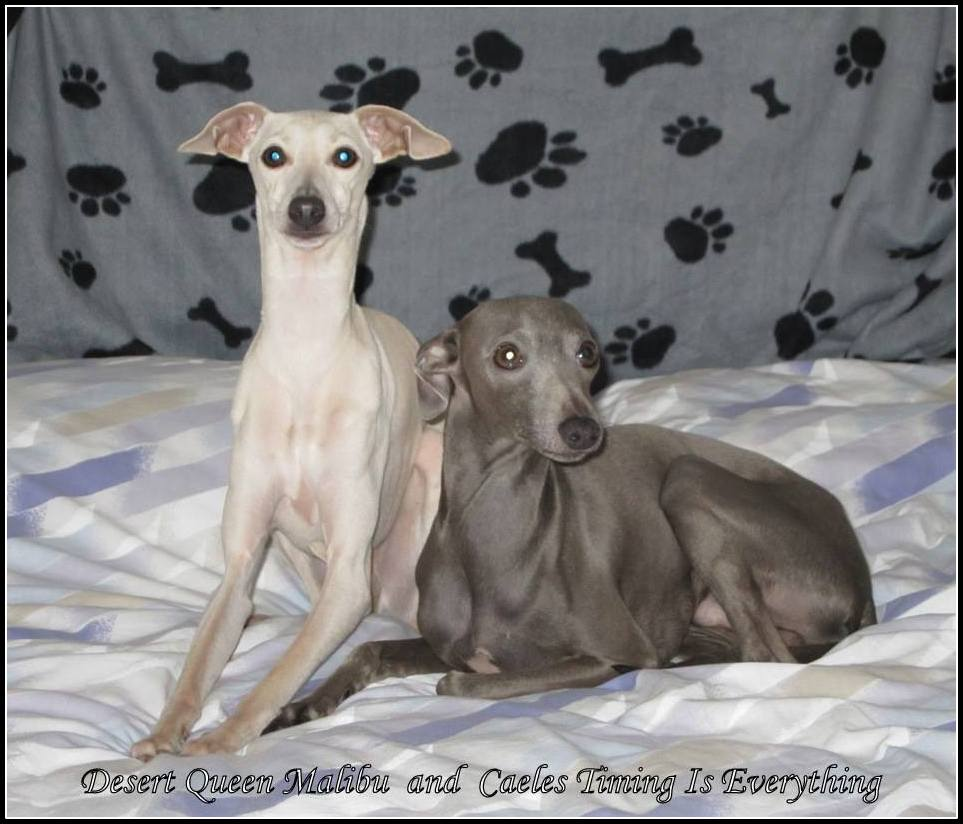 Italian Greyhound Queen Victoria » Billy and Malib...