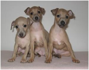 Mali italijanski hrt-Italian greyhound- Desert Queen-Lucciola,Luciana,Lucido