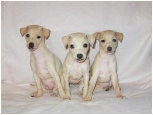 Mali italijanski hrt-Italian greyhound- Desert Queen-Margarita, Magnolia, Mandarina