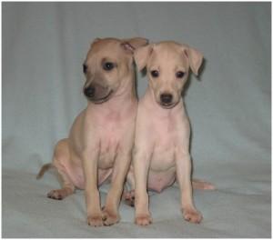 Mali italijanski hrt-Italian greyhound- Desert Queen-Mr.Baileys, Malibu