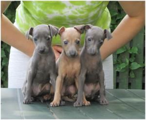 Mali italijanski hrt-Italian greyhound- Desert Queen-Nimbus, Najib, Nord