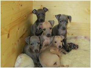 Mali italijanski hrt-Italian greyhound- Desert Queen-Rocco,Ricardo,Rena,Ravenna,Rima