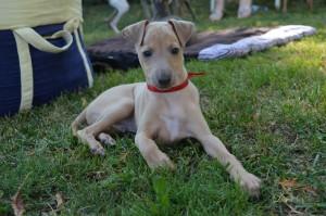 Mali italijanski hrt-Italian greyhound- Desert Queen-Salamon