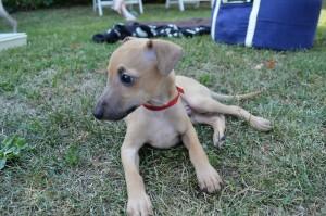 Mali italijanski hrt-Italian greyhound- Desert Queen-Samuel