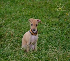 Mali italijanski hrt-Italian greyhound- Desert Queen-Simeon1
