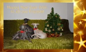 Desert-Queen-Italian-greyhounds-126