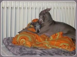 Desert-Queen-Italian-greyhounds-127