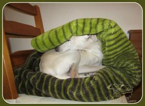 Desert-Queen-Italian-greyhounds-130