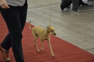 Desert-Queen-Italian-greyhounds-137