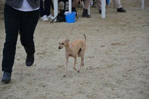 Desert-Queen-Italian-greyhounds-138