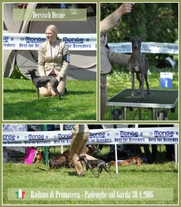 Desert-Queen-Italian-greyhounds-147